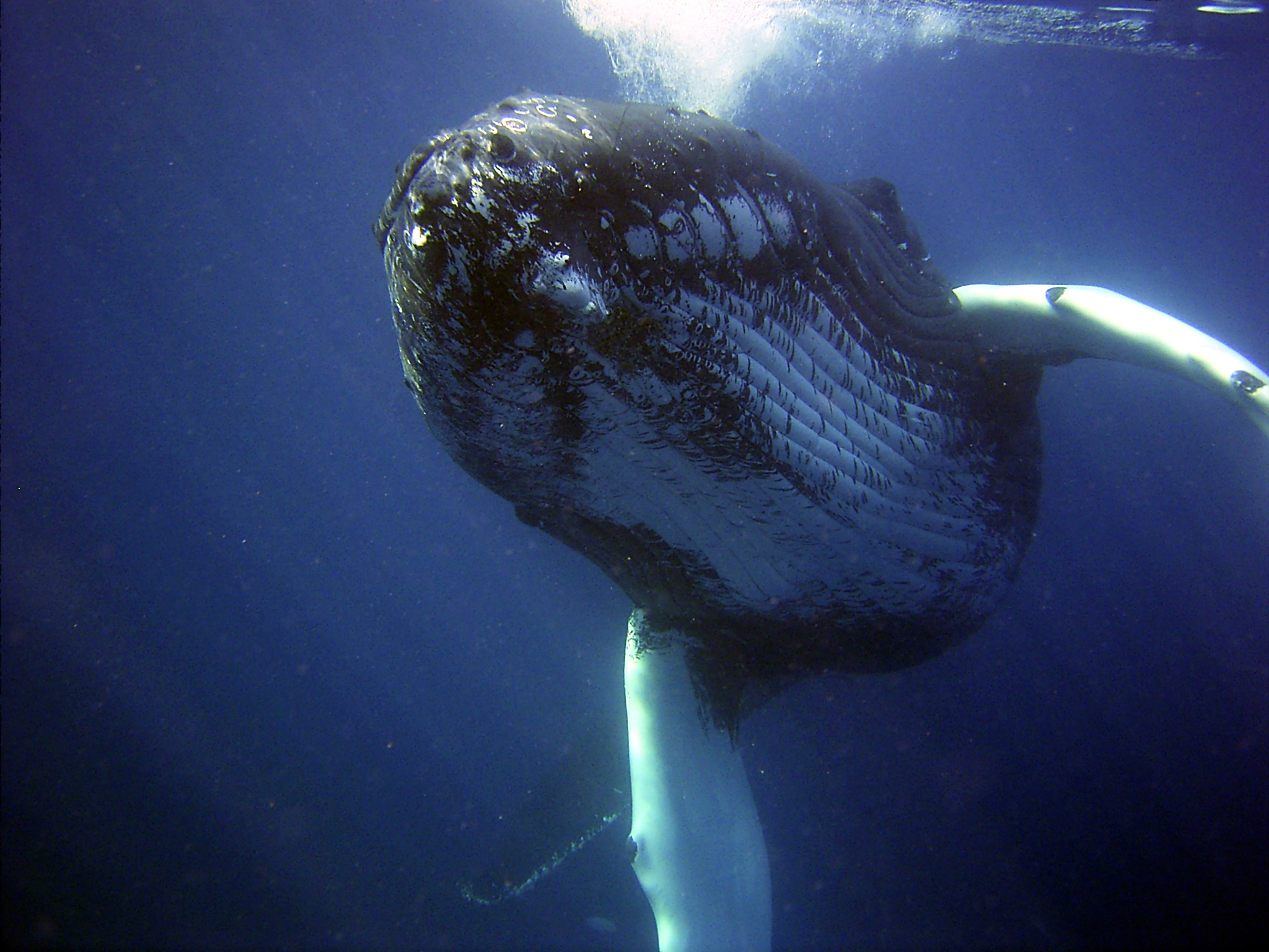 Looking up at a whale swimming in the ocean.